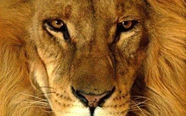 lwia zmarszczka
